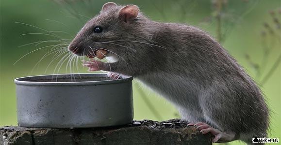 Картинки по запросу избавиться от крыс