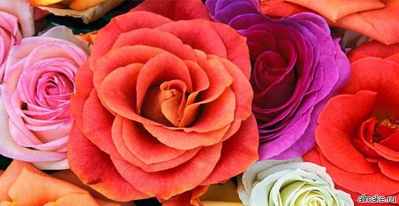 Как пересадить розу